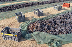 Grapes are drying on the field. Royalty Free Stock Image