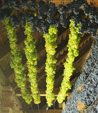 Grapes drying for straw wine Stock Image