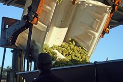 Grapes Dumped into Hopper. Green wine grapes being dumped into a hopper Stock Image