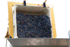 Grapes dumping into bin for sorting. Forklift dumping bin of purple grapes into sorter for initial sorting prior to going to the crusher for wine making in Napa Royalty Free Stock Photography