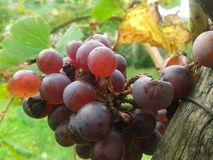 Grapes in the end of summer Royalty Free Stock Photos