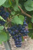 Grapes in Epernay Stock Images