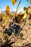 Grapes at Estepas de Belchite, Zaragoza, Aragon, Spain Royalty Free Stock Photography