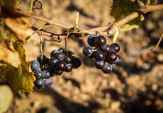 Grapes at Estepas de Belchite, Zaragoza, Aragon, Spain Royalty Free Stock Images