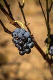 Grapes at Estepas de Belchite, Zaragoza, Aragon, Spain Royalty Free Stock Images