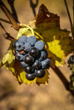 Grapes at Estepas de Belchite, Zaragoza, Aragon, Spain Stock Images