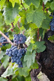 GRAPES OF ETNA Royalty Free Stock Image