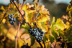 Grapes in fall. Ripe grapes in fall on wines Royalty Free Stock Photos
