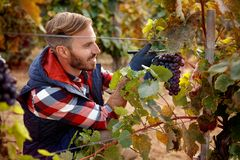 Grapes on family vineyard - worker picking black grapes royalty free stock photo