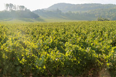 The grapes farm of Napa Valley royalty free stock photos
