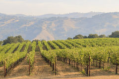 The grapes farm of Napa Valley royalty free stock image