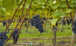 Grapes in the Field. Under the canopy of grape leaves are the fruit ready for harvest Stock Photography