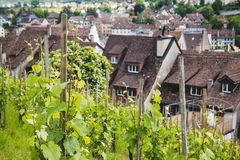 Grapes field in Swiss town Schaffhausen Royalty Free Stock Images