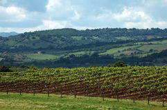 Grapes filed. A green grapes field and cloudy sky in Tuscany Royalty Free Stock Images