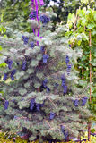 Grapes on fir Royalty Free Stock Photos