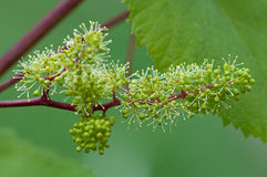 Grapes, flowering vine, green flowers of grape Royalty Free Stock Photography