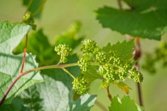 Grapes flowers Stock Photo