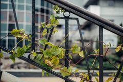 Grapes that flutter on a metal stair Stock Photography