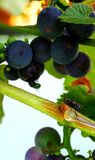 Grapes and flyes Stock Images