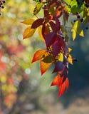 Grapes foliage Royalty Free Stock Photography