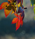 Grapes foliage Stock Photography