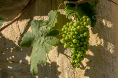 Grapes - Franconian wine Stock Image