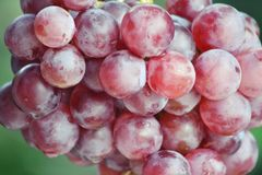 Grapes Fresh Fruit Royalty Free Stock Images