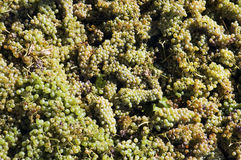 Grapes freshly harvested. Bunches of freshly harvested white grapes Stock Images