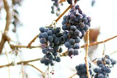 Grapes in the frost. Winter ice fruit stock photo