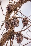 Grapes, frozen winter berry, wine royalty free stock images