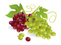 Grapes Fruit. Realistic vector illustration of white and purple grapes, with vines Royalty Free Stock Photos