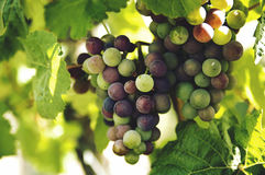 Grapes Fruit Stock Photos
