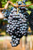 Grapes fruit background Stock Photography