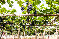Grapes fruit background Royalty Free Stock Photography