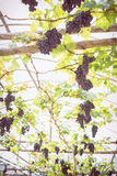Grapes fruit in farm viticulture Royalty Free Stock Photography