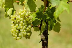 Grapes, Fruit, Vine, Vines, Wine Royalty Free Stock Images
