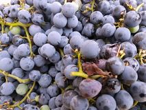 Grapes. Fruit that will become wine Royalty Free Stock Photos