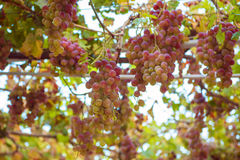 Grapes in the garden Royalty Free Stock Images