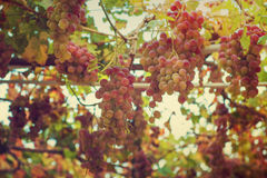 Grapes in the garden Stock Photography