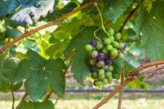 Grapes in garden Royalty Free Stock Image