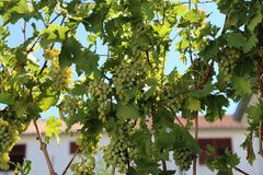 In the garden ripen grapes Stock Photos