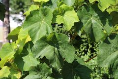 In the garden ripen grapes Royalty Free Stock Photography