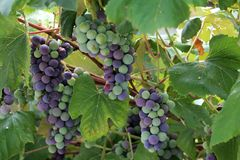 In the garden ripen grapes Royalty Free Stock Image