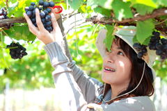 Grapes Gardener Royalty Free Stock Photography