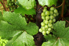 Grapes get wet in the rain Royalty Free Stock Image