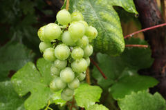 Grapes get wet in the rain Royalty Free Stock Photography