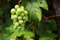 Grapes get wet in the rain Stock Photo
