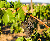 Grapes are getting ripe in the vineyards Stock Image