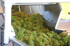 Grapes Going to Press. Green grapes about to be sorted on their way to the wine press stock photo