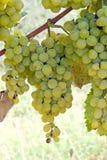 Grapes. Grape grapes branch white wine vineyard plants green fruit fruits juice Royalty Free Stock Image